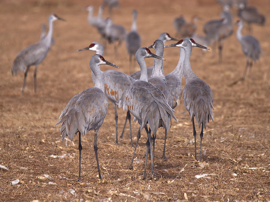 Sandhill Cranes | LEICA DG 100-400MM F4.0-6.3 <br> Click image for more details, Click <b>X</b> on top right of image to close