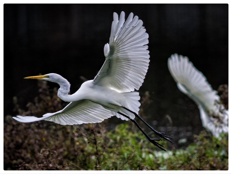 Great Egret | LEICA 560MM F/6.8 TELYT 1971–95 <br> Click image for more details, Click <b>X</b> on top right of image to close
