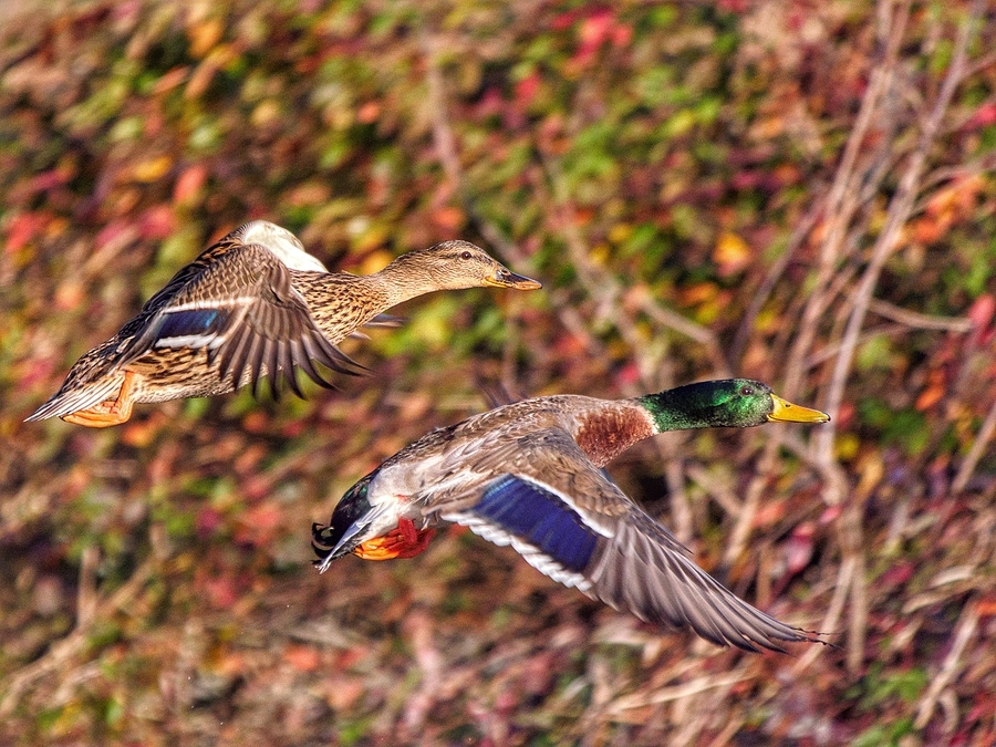 Mallard Pair | LENS MODEL NOT SET <br> Click image for more details, Click <b>X</b> on top right of image to close