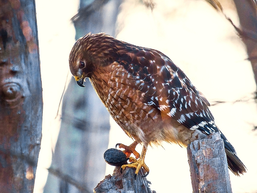 Hawk and turtle | LENS MODEL NOT SET <br> Click image for more details, Click <b>X</b> on top right of image to close