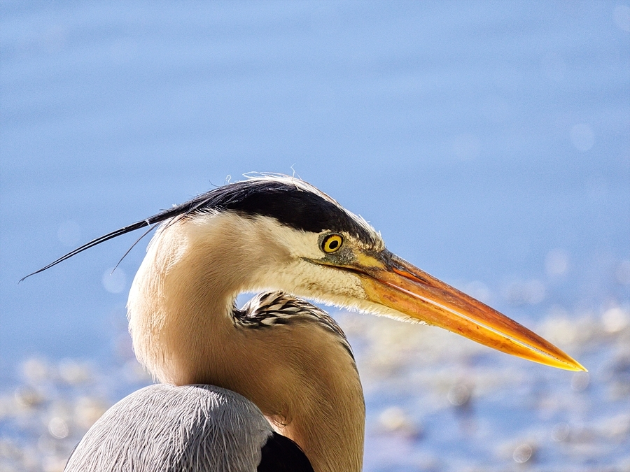 Backlit Great Blue Heron | LENS MODEL NOT SET <br> Click image for more details, Click <b>X</b> on top right of image to close