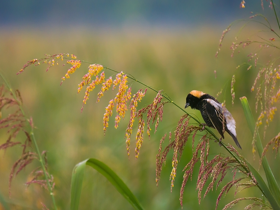 Bobolink feeding | LENS MODEL NOT SET <br> Click image for more details, Click <b>X</b> on top right of image to close