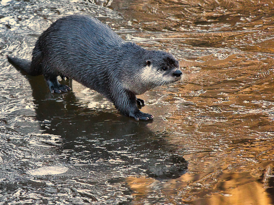 Otter on the ice | LENS MODEL NOT SET <br> Click image for more details, Click <b>X</b> on top right of image to close
