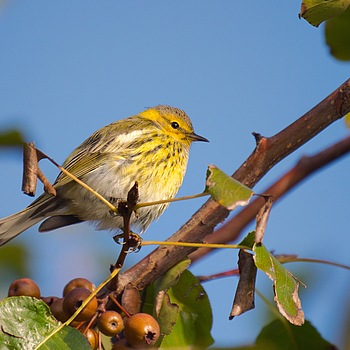 Warbler in a Bradford P. | LENS MODEL NOT SET