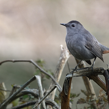 Grey Catbird  | LEICA DG 100-400MM F4.0-6.3 <br> Click image for more details, Click <b>X</b> on top right of image to close