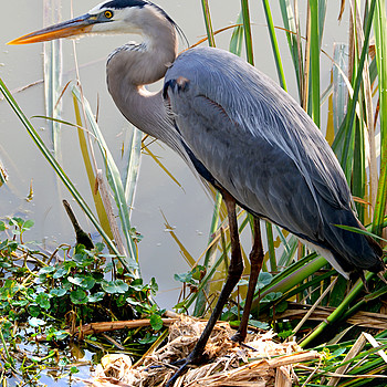Great Blue Heron | LEICA DG 100-400MM F4.0-6.3 <br> Click image for more details, Click <b>X</b> on top right of image to close
