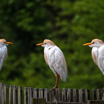 Cattle Egrets | LEICA DG 100-400MM F4.0-6.3