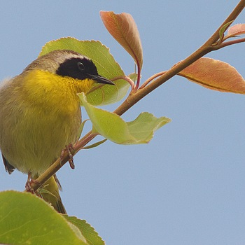 Common Yellow Throat | LEICA 560MM F6.8 TELYT 1971–95