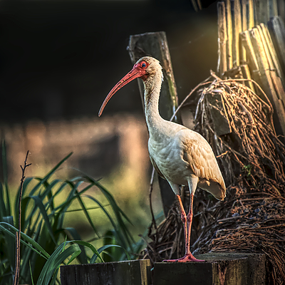 American Ibis | LEICA 560MM F6.8 TELYT 1971–95 <br> Click image for more details, Click <b>X</b> on top right of image to close
