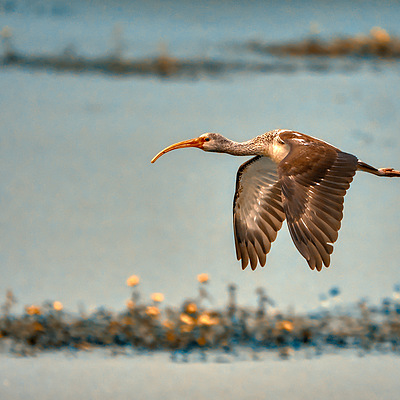 American Ibis | LEICA DG 100-400MM F4.0-6.3 <br> Click image for more details, Click <b>X</b> on top right of image to close