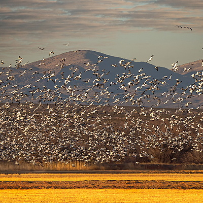Snow Geese | LENS MODEL NOT SET <br> Click image for more details, Click <b>X</b> on top right of image to close