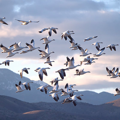 Snow Geese , New Mexico | LEICA DG 100-400MM F4.0-6.3 <br> Click image for more details, Click <b>X</b> on top right of image to close