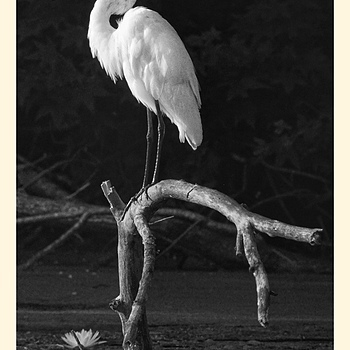 Great Egret | LEICA 400MM F/6.8 TELYT 1968–94 <br> Click image for more details, Click <b>X</b> on top right of image to close