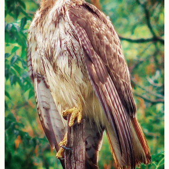 Red Tail | LEICA 400MM F/6.8 TELYT 1968–94 <br> Click image for more details, Click <b>X</b> on top right of image to close