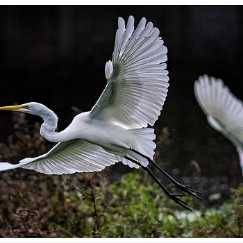 Great Egret | LEICA 560MM F/6.8 TELYT 1971–95