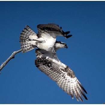 Osprey | LEICA 560MM F/6.8 TELYT 1971–95 <br> Click image for more details, Click <b>X</b> on top right of image to close