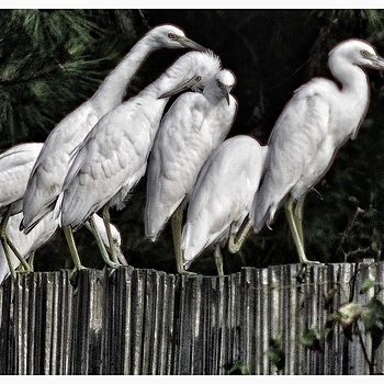 Egrets on the fence | LEICA 400MM F/6.8 TELYT 1968–94 <br> Click image for more details, Click <b>X</b> on top right of image to close