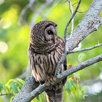 Barred  Owl | LEICA 560MM F/6.8 TELYT 1971–95