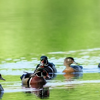 Wood Ducks | LEICA 560MM F/6.8 TELYT 1971–95