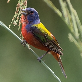 Painted Bunting | LENS MODEL NOT SET <br> Click image for more details, Click <b>X</b> on top right of image to close