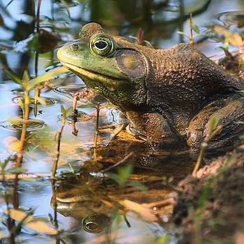Bullfrog | LENS MODEL NOT SET <br> Click image for more details, Click <b>X</b> on top right of image to close
