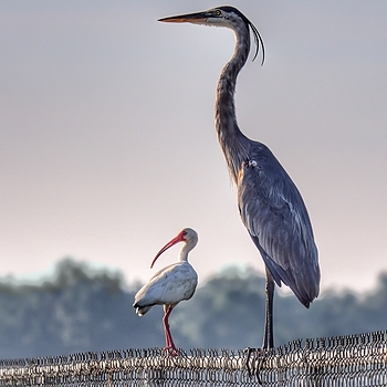 Truly a Great Blue Heron | LENS MODEL NOT SET