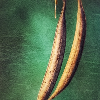 Seed Pods | LEICA 560MM F/6.8 TELYT 1971–95 <br> Click image for more details, Click <b>X</b> on top right of image to close