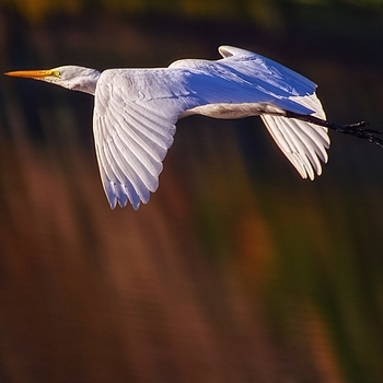 Egret and Fall color