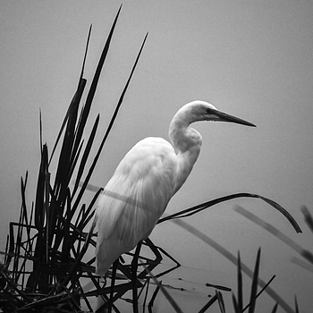 Great Egret | LENS MODEL NOT SET