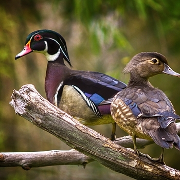 Wood Ducks | LEICA 400MM F/6.8 TELYT 1968–94 <br> Click image for more details, Click <b>X</b> on top right of image to close