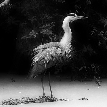 Great Blue Heron | LENS MODEL NOT SET <br> Click image for more details, Click <b>X</b> on top right of image to close