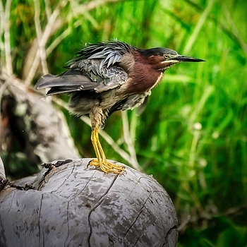 Green Heron | LENS MODEL NOT SET <br> Click image for more details, Click <b>X</b> on top right of image to close
