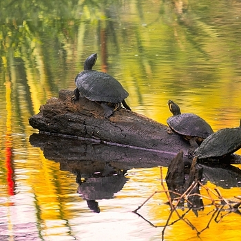 Sunrise Turtles | LENS MODEL NOT SET <br> Click image for more details, Click <b>X</b> on top right of image to close