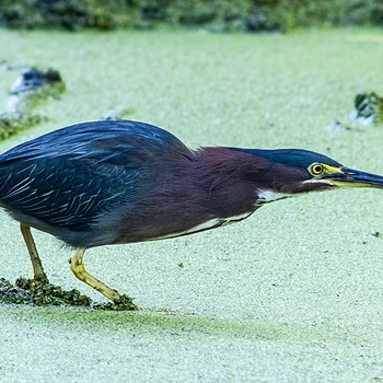 Green Heron | LEICA 400MM F/6.8 TELYT 1968–94 <br> Click image for more details, Click <b>X</b> on top right of image to close