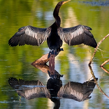 Anhinga | LENS MODEL NOT SET <br> Click image for more details, Click <b>X</b> on top right of image to close