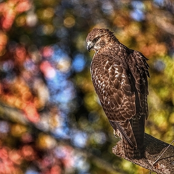 Hawk in Fall Forest | LENS MODEL NOT SET <br> Click image for more details, Click <b>X</b> on top right of image to close