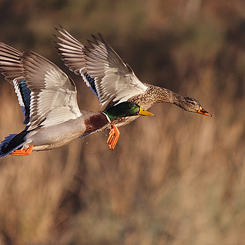 Mallard pair | LENS MODEL NOT SET