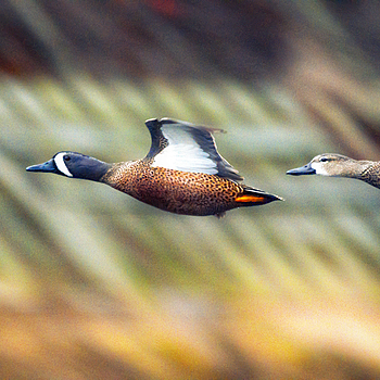 Blue Wing Teal | LENS MODEL NOT SET