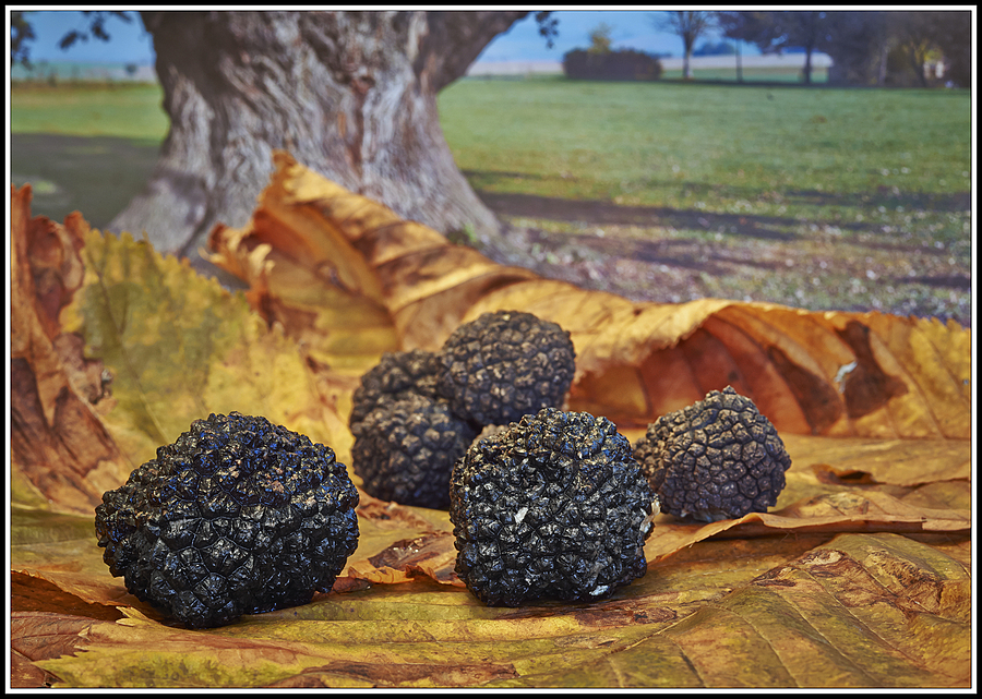 Black Truffles  -  Schwarze Trüffel | LEICA 60MM MACRO ELMARIT 1ST VERSION 1972 <br> Click image for more details, Click <b>X</b> on top right of image to close