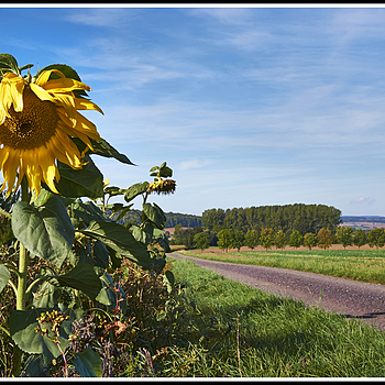#13   Landscape with Helianthus | LEICA 60MM MACRO ELMARIT 1ST VERSION 1972