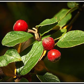 # 54    Cotoneaster - fruits | LEICA 60MM MACRO ELMARIT 1ST VERSION 1972 <br> Click image for more details, Click <b>X</b> on top right of image to close