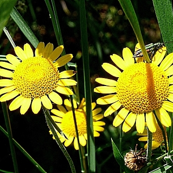 Three daisies and a beetle | DC VARIO-ELMARIT 1:2.8-3.7/7.4-88.8 ASPH