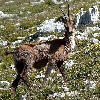 3 - The chamois of Abruzzo (Italy) | DC VARIO-ELMARIT 1:2.8-3.7/7.4-88.8 ASPH <br> Click image for more details, Click <b>X</b> on top right of image to close