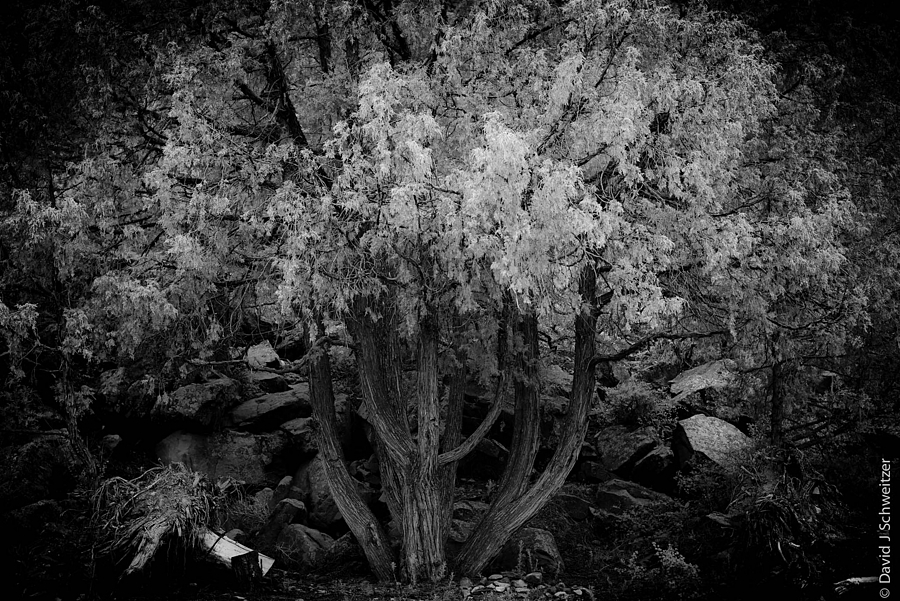 Heavenly Tree | LEICA SUMMICRON 50MM F2 <br> Click image for more details, Click <b>X</b> on top right of image to close