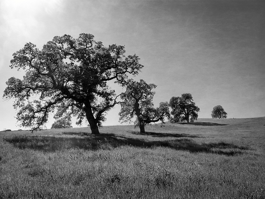 Oak Trees | LENS MODEL NOT SET <br> Click image for more details, Click <b>X</b> on top right of image to close
