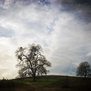 Oak Tree with Mistletoe | LENS MODEL NOT SET <br> Click image for more details, Click <b>X</b> on top right of image to close