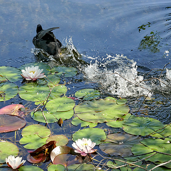 Water Lillies and Coot | LENS MODEL NOT SET <br> Click image for more details, Click <b>X</b> on top right of image to close