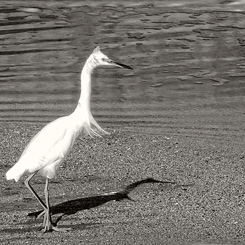 Egret and Shadow | LENS MODEL NOT SET <br> Click image for more details, Click <b>X</b> on top right of image to close