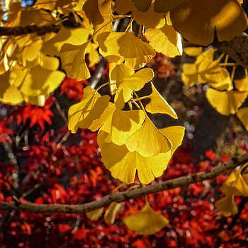 Ginkgo and Japanese Maple