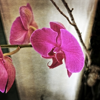 Fuschia Orchid | LENS MODEL NOT SET <br> Click image for more details, Click <b>X</b> on top right of image to close